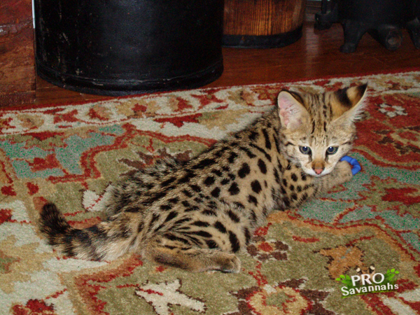 Fifty ~ 62.5% F1 Savannah kitten image